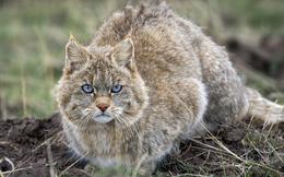 Mèo hoang mạc, người anh em cùng cha khác ông nội với mèo nhà