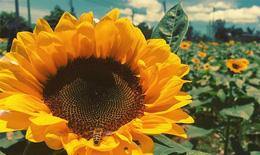 Tác dụng chữa bệnh của cây hoa hướng dương